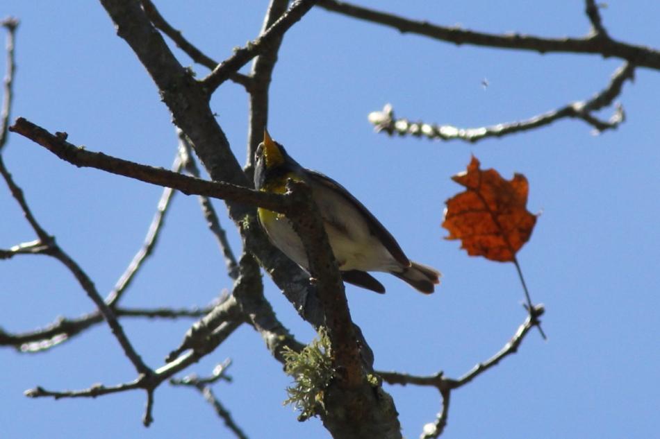 Northern Parula, Setophaga americana