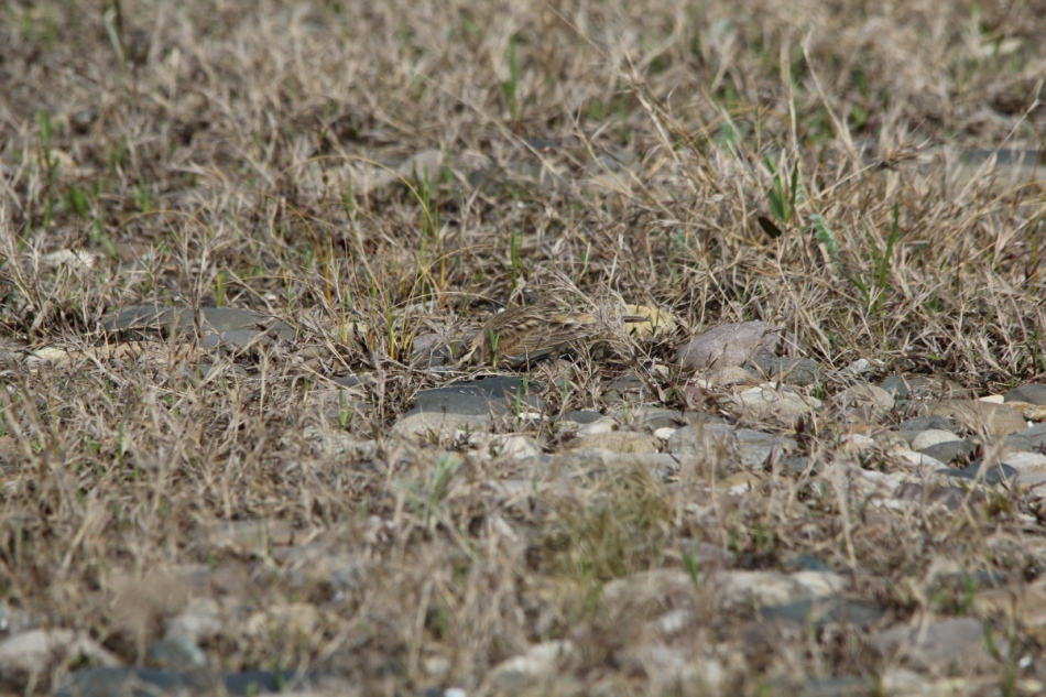 Can you see the horned lark?