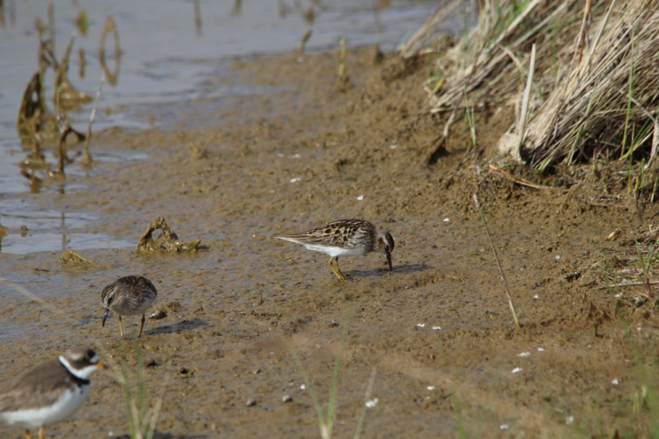 Semi-palmated plover and least sandpipers