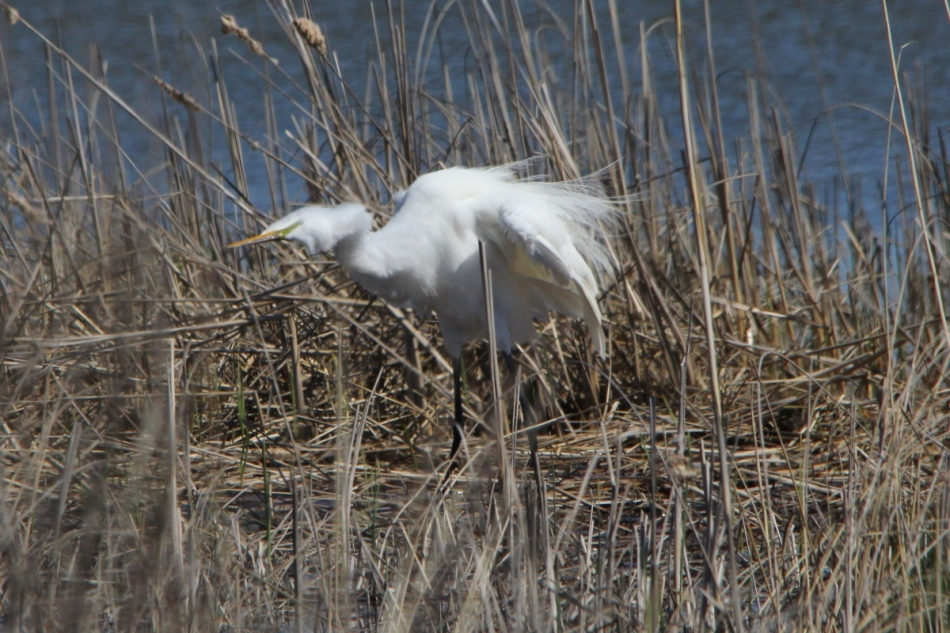 Great egret shaking