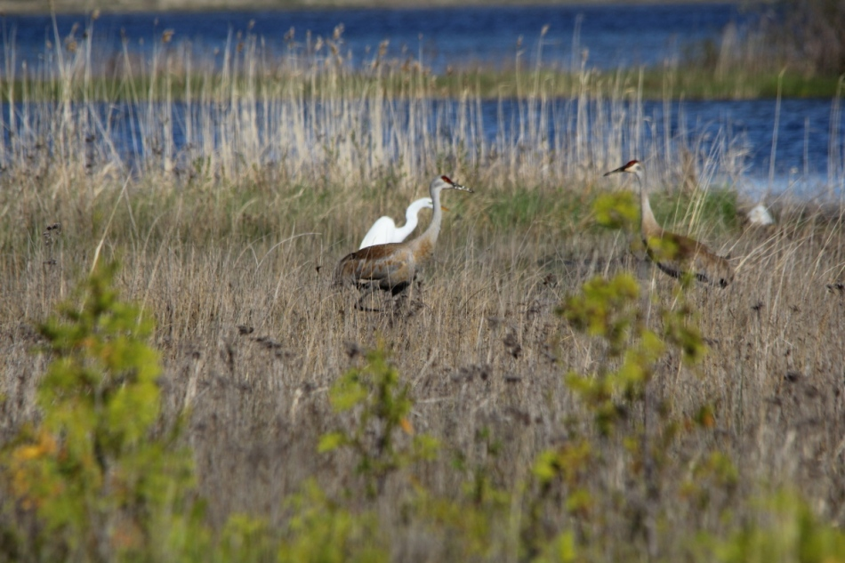 Sandhill cranes and great egret