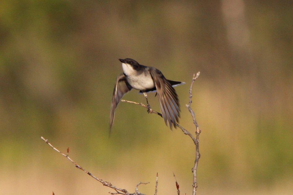Eastern kingbird launching into flight to catch an insect