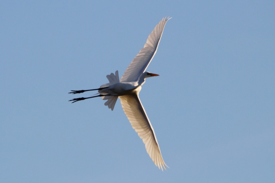 Great egret practicing acrobatic flight