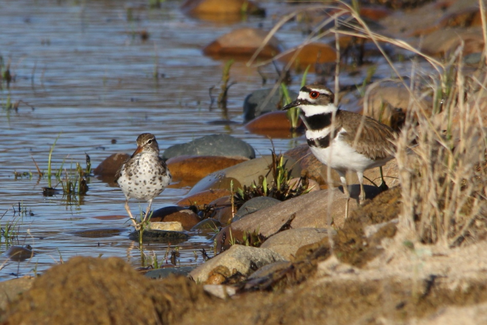 Killdeer and spotted sandpiper