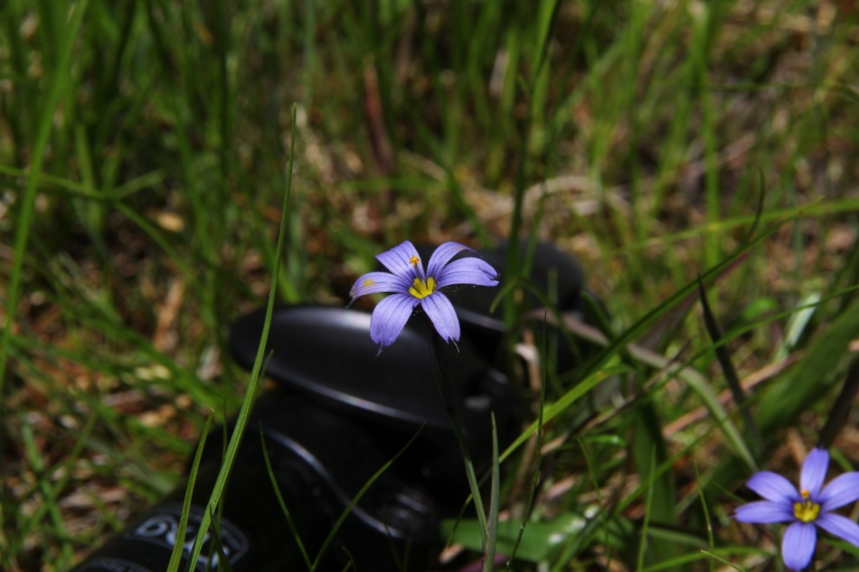 Atlantic blue-eyed grass at 85 mm, not cropped