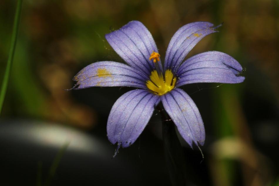 Atlantic blue-eyed grass, Tokina 100 mm macro lens