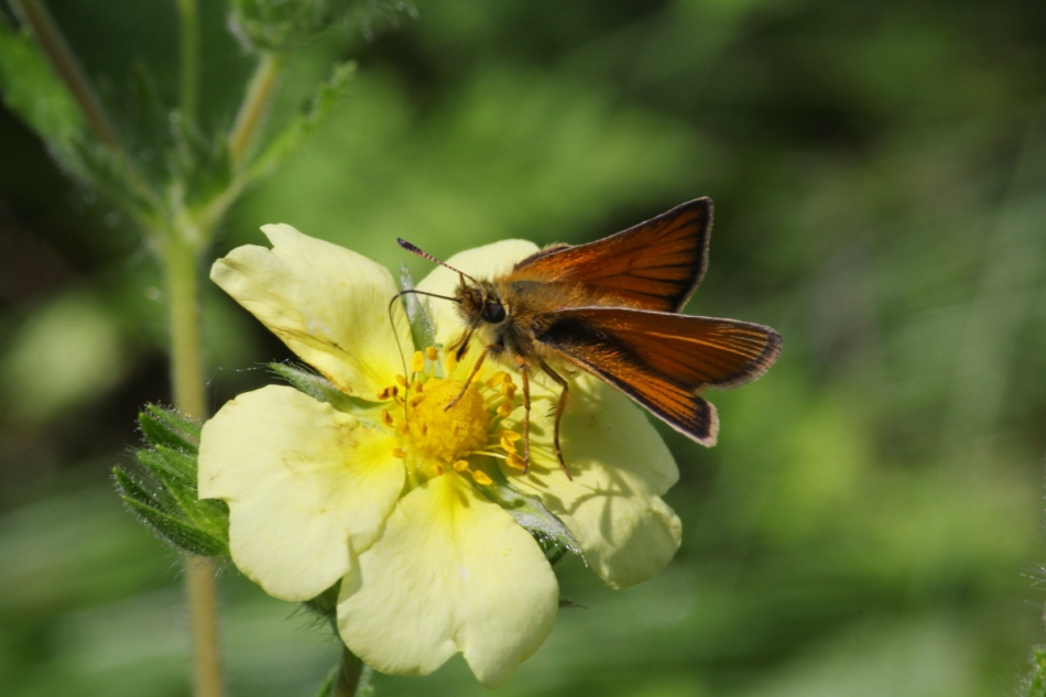 Skipper on sulfur cinquefoil