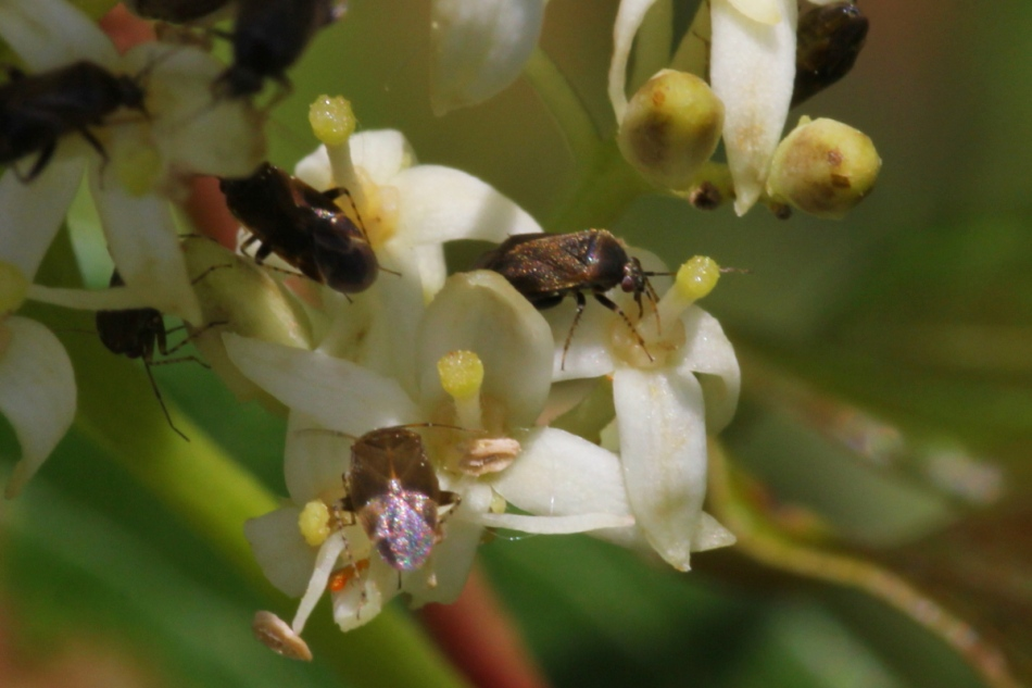 Tiny beetles on unknown berry flowers