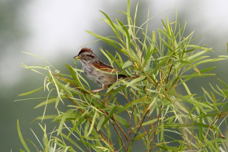 Swamp Sparrow, Melospiza georgiana
