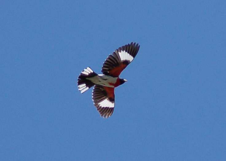Male rose-breasted grosbeak in flight