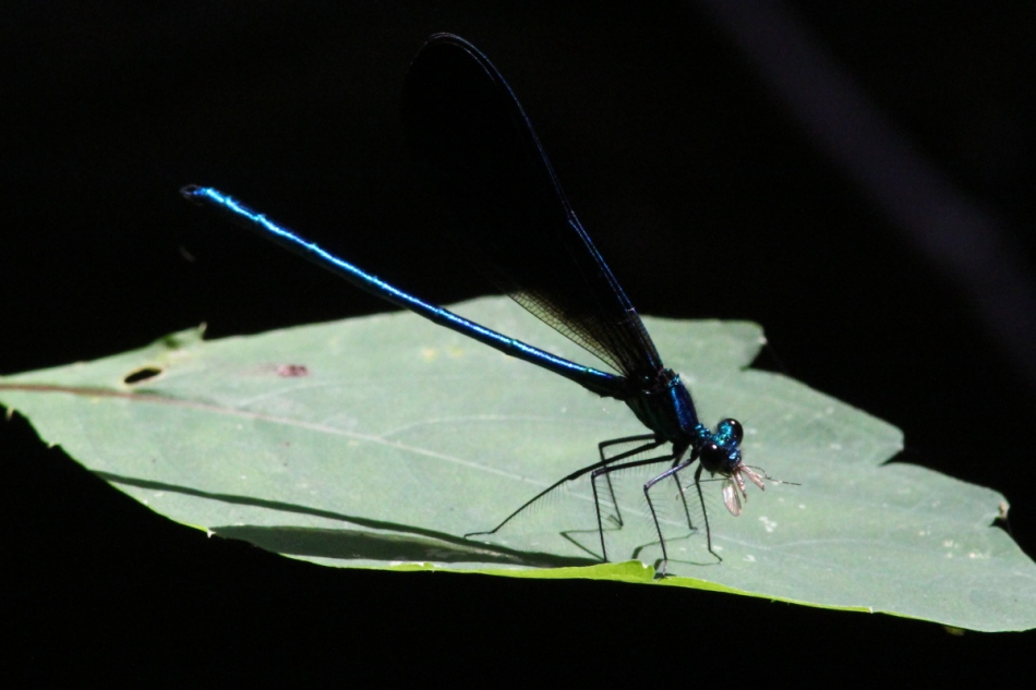 Damselfly eating a mosquito