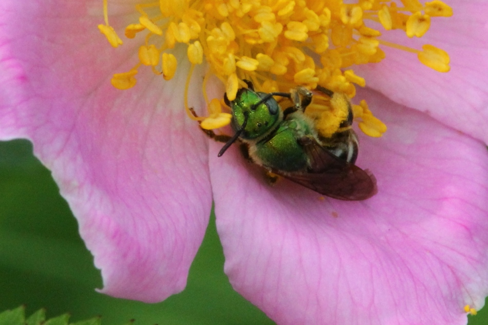 Wild rose with green bee