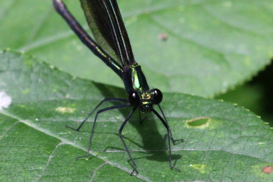 damselfly cropped