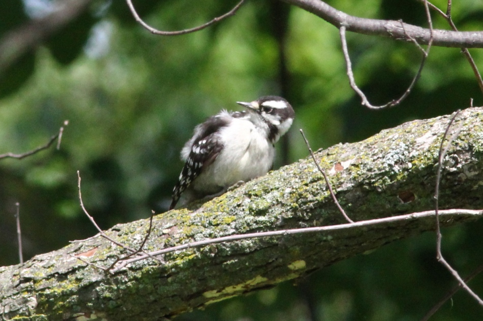 Juvenile downy woodpecker