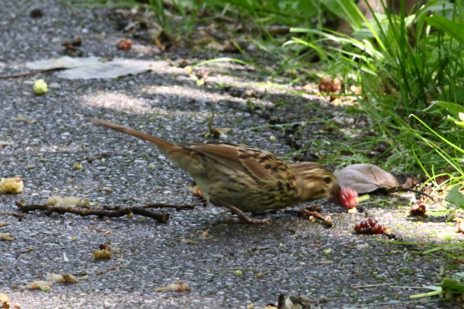 Song sparrow eating a mulberry