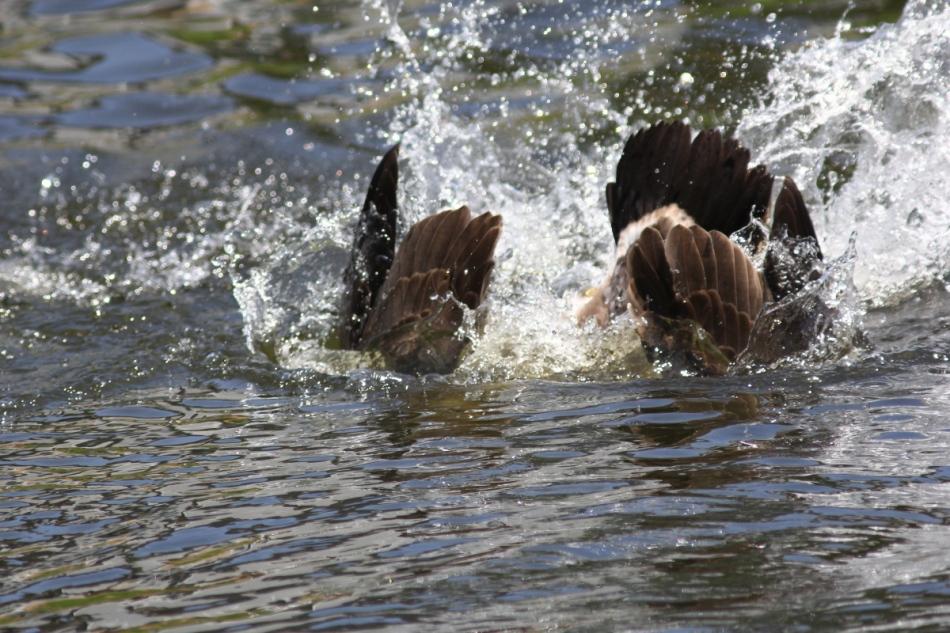 Canada goose diving