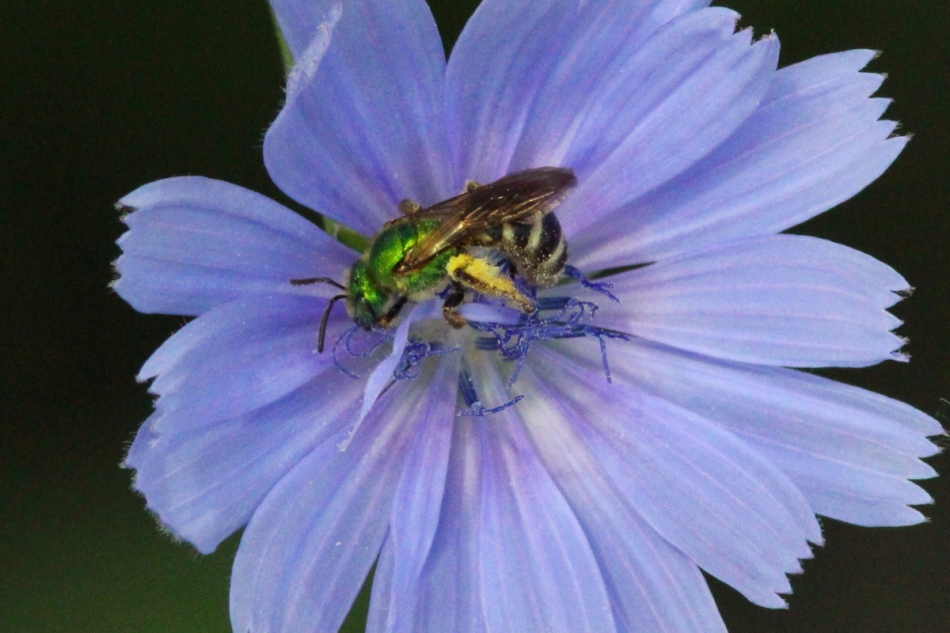 Green bee and chicory