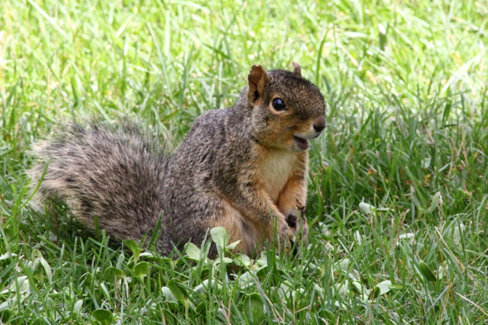 Laughing fox squirrel
