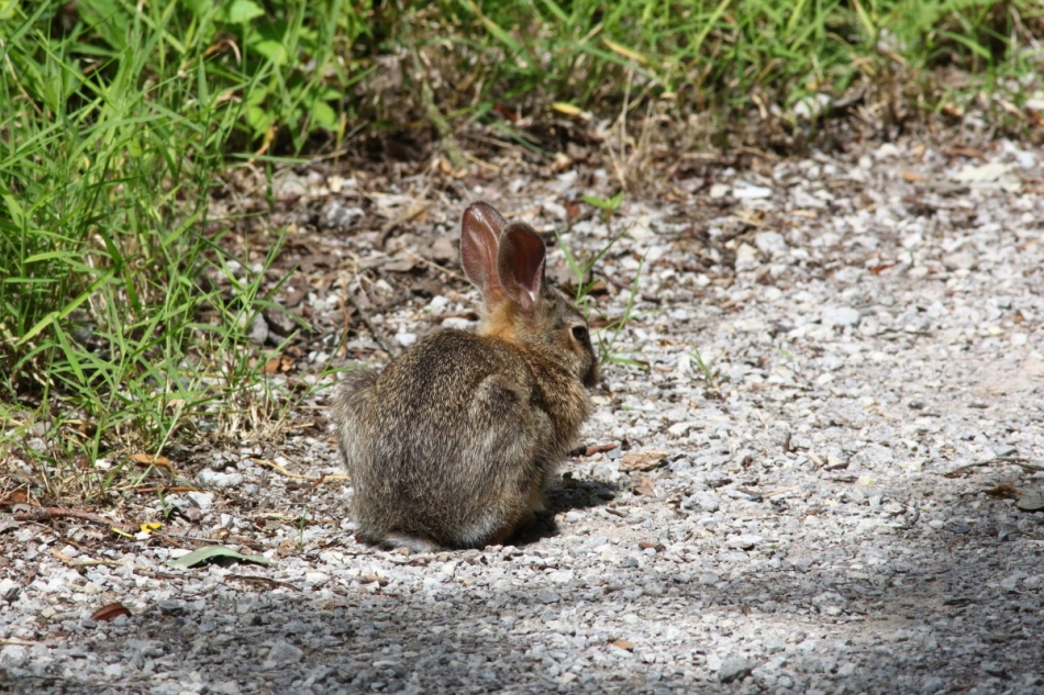 Juvenile cottontail rabbit