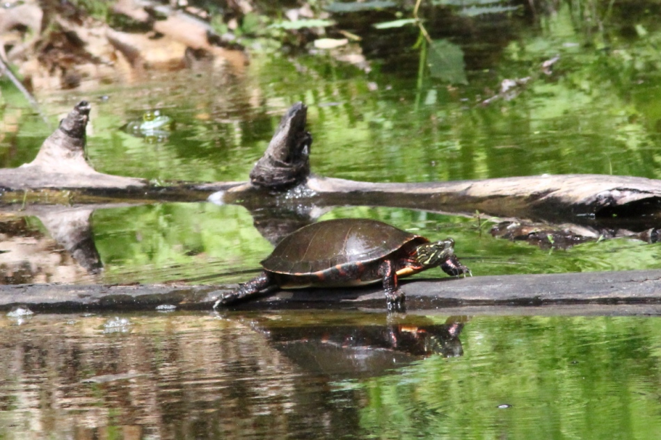 Bullfrog watching a painted turtle crawl up a log to bask