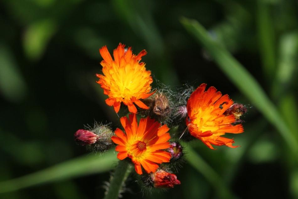 Orange hawkweed at 420 mm