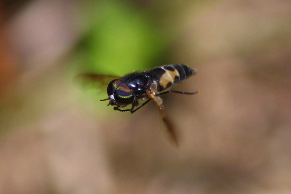Hoverfly at 100 mm