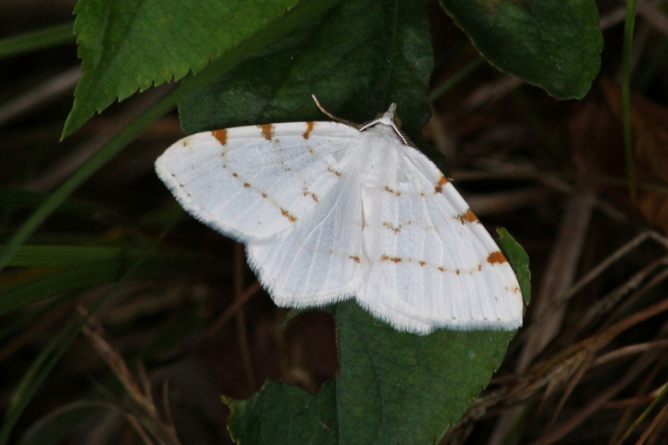 Unidentified mostly white moth