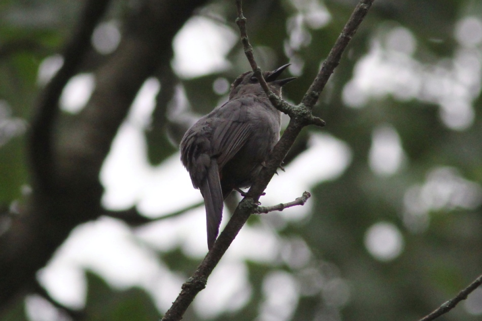 Male grey catbird singing