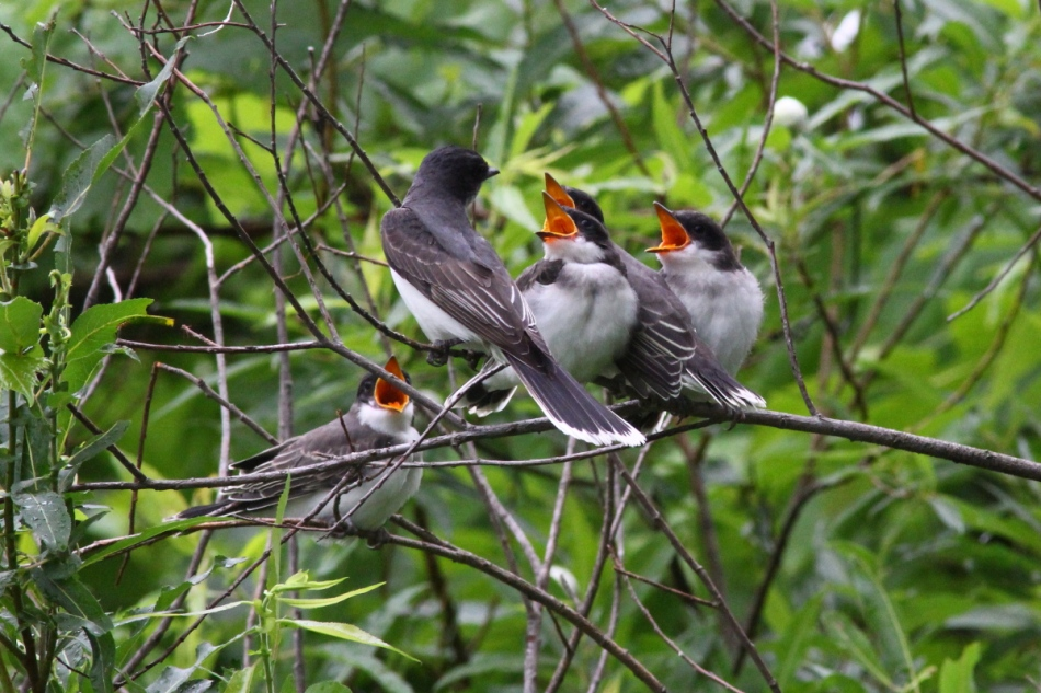 Adult eastern kingbird  and its young