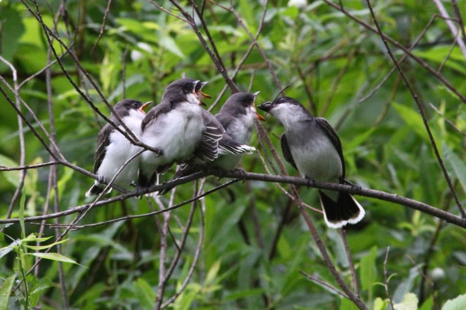 Adult eastern kingbird feeding its young
