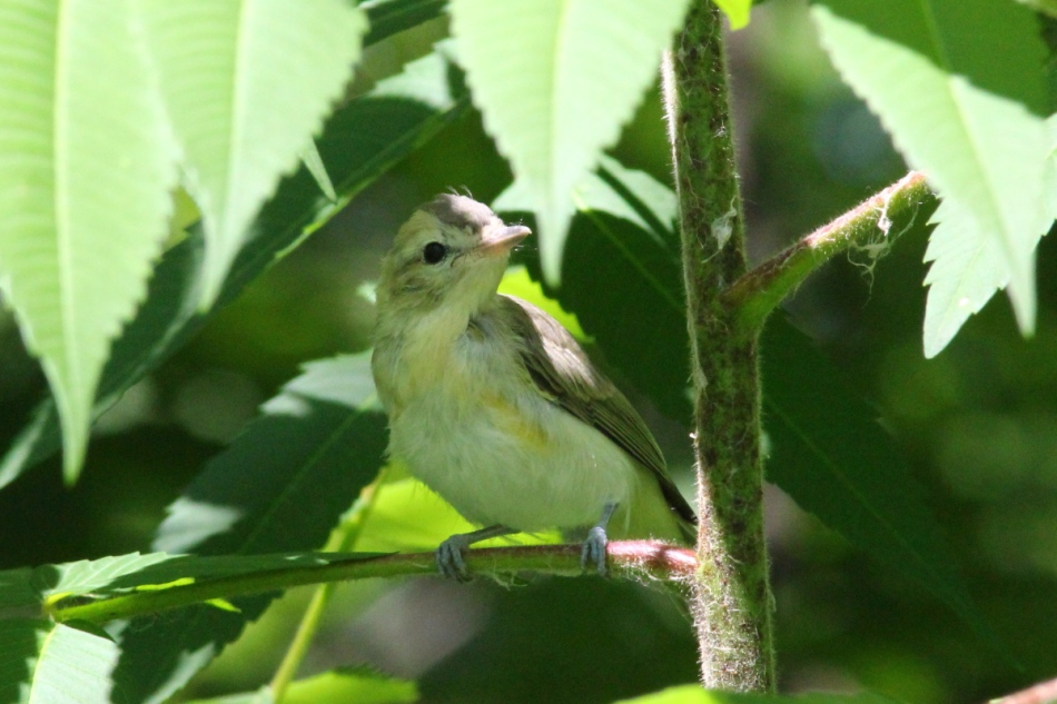 Unidentified juvenile flycatcher