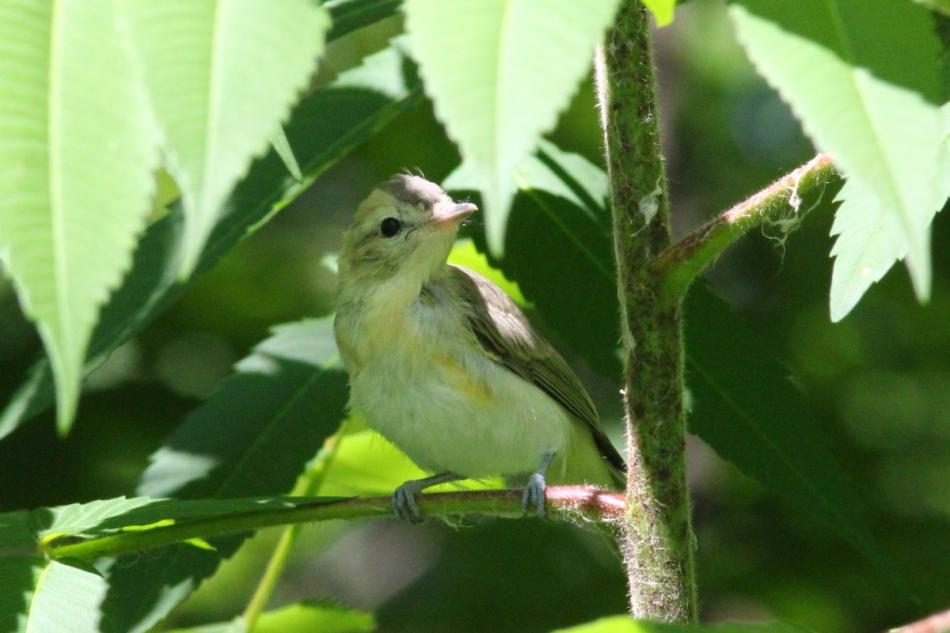 Unidentified juvenile flycatcher