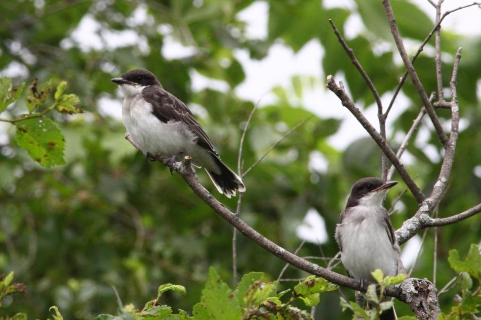 Juvenile eastern kingbirds