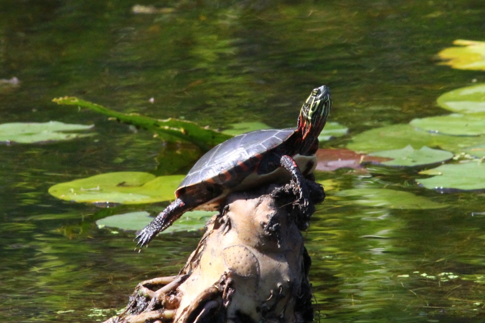 Painted turtle basking in the sun