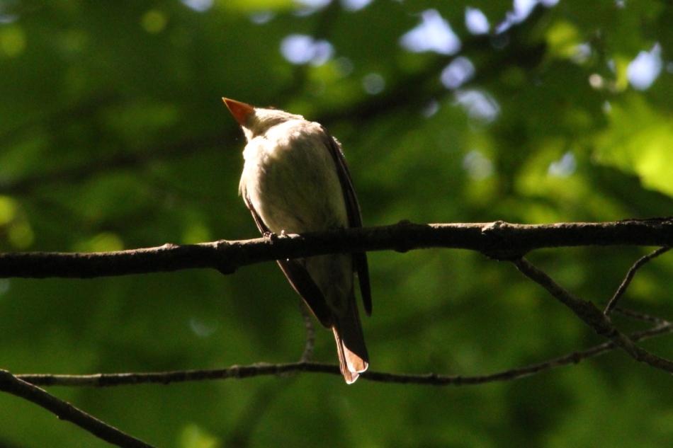 Eastern wood pewee