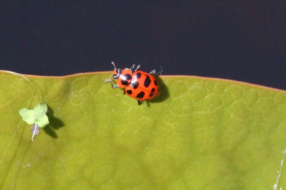 Beetle on a lilypad