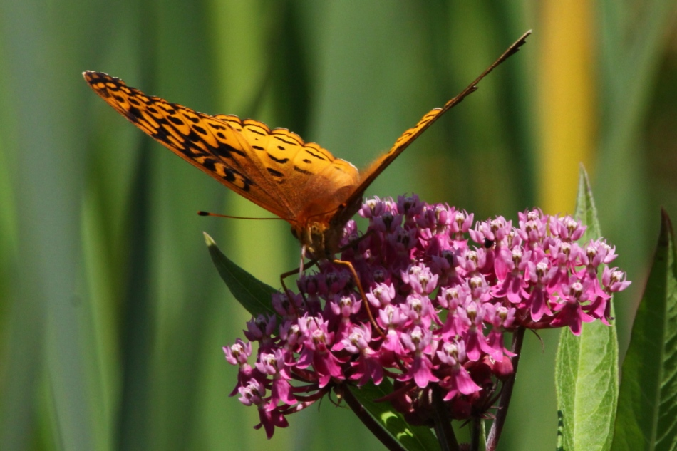 Butterfly on swamp milkweed