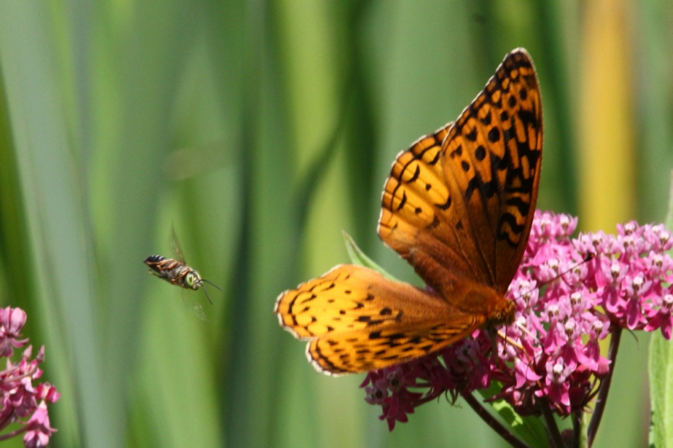 Butterfly on swamp milkweed being dive bombed by a wasp or bee