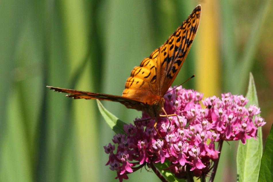Butterfly on swamp milkweed
