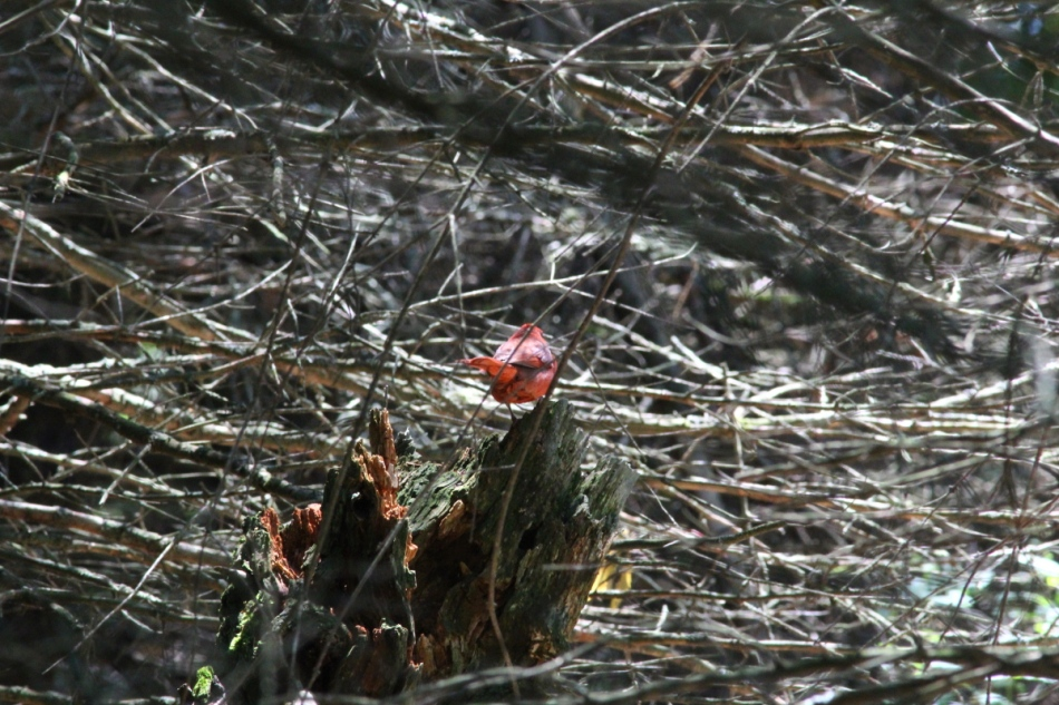 "Male northern cardinal in ""jail"""