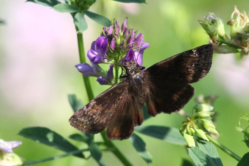 Moth on alfalfa flower