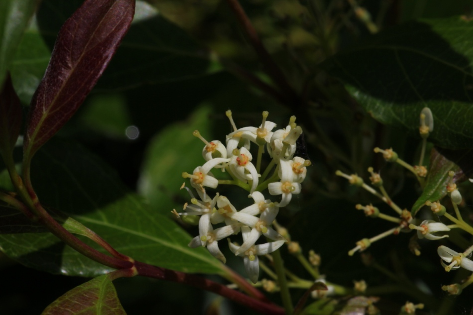 Unidentified berry flowers