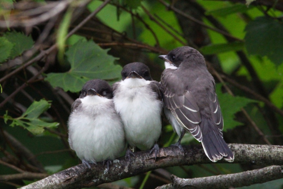 Juvenile eastern kingbirds dozing