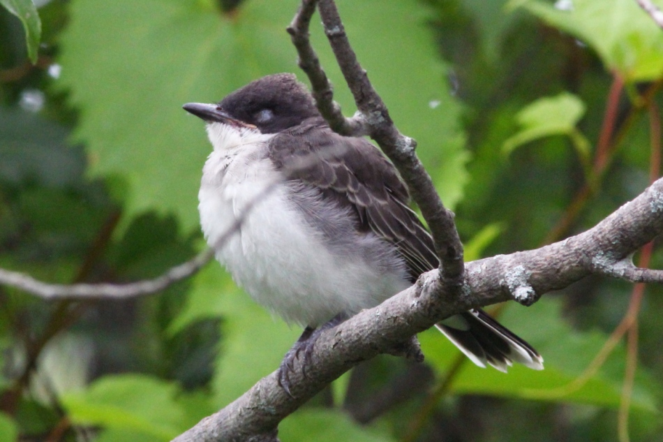Juvenile eastern kingbird dozing