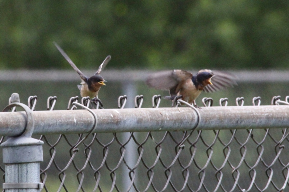 Vibrating juvenile barn swallows