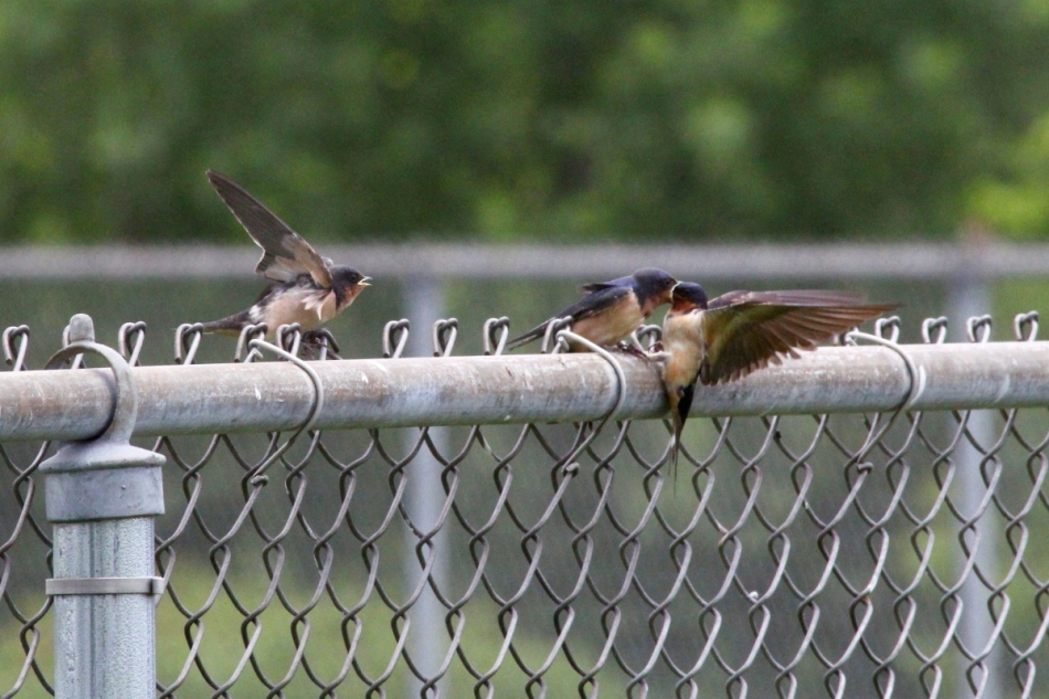 Barn swallow feeding one of its young
