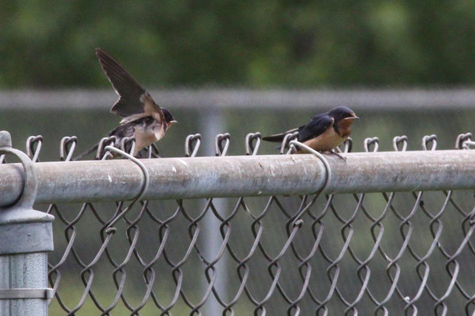 Juvenile barn swallows