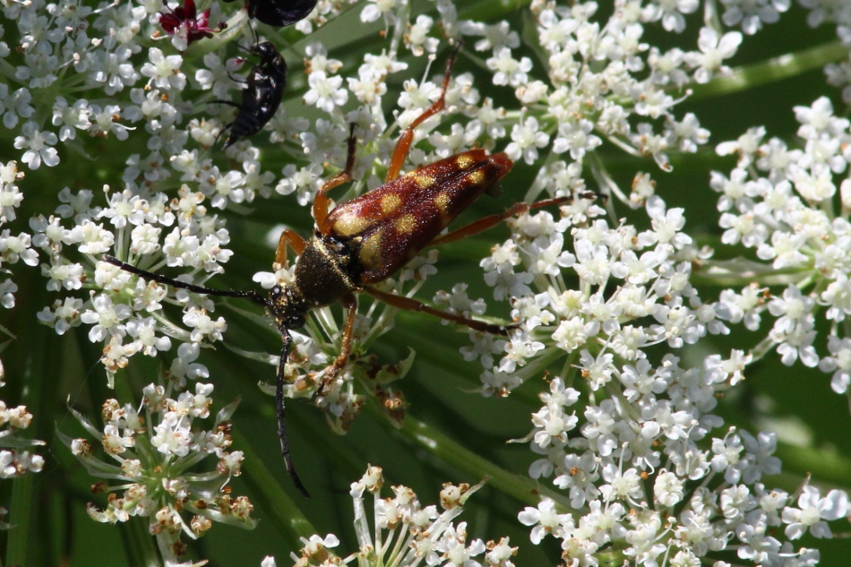 Unidentified beetle on Queen Anne's Lace
