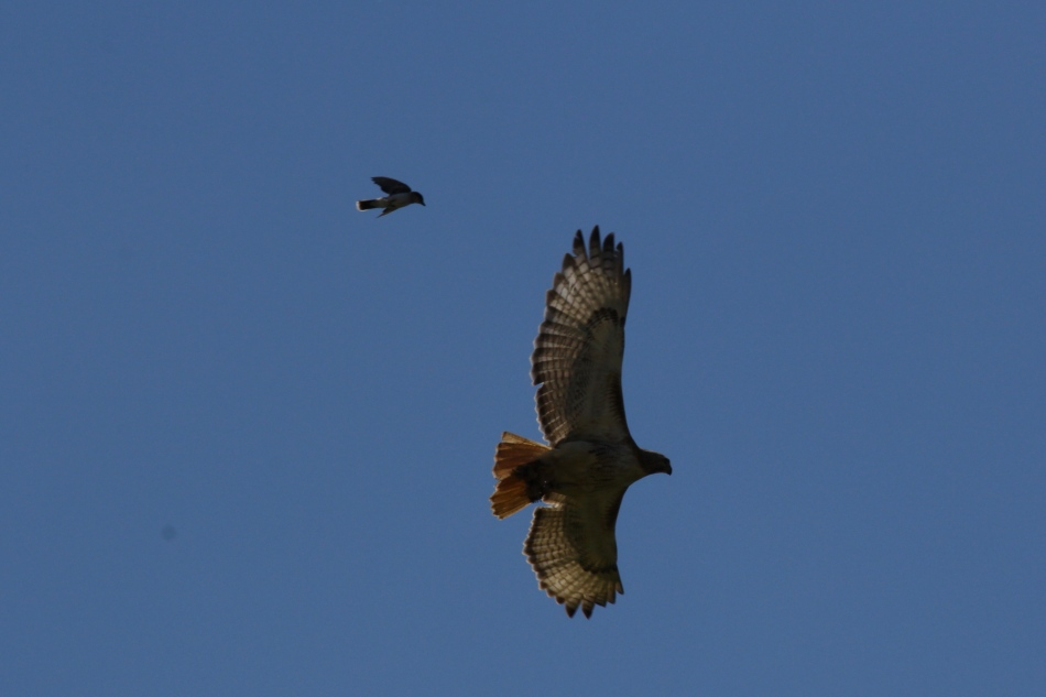 Eastern kingbird attacking a red-tailed hawk
