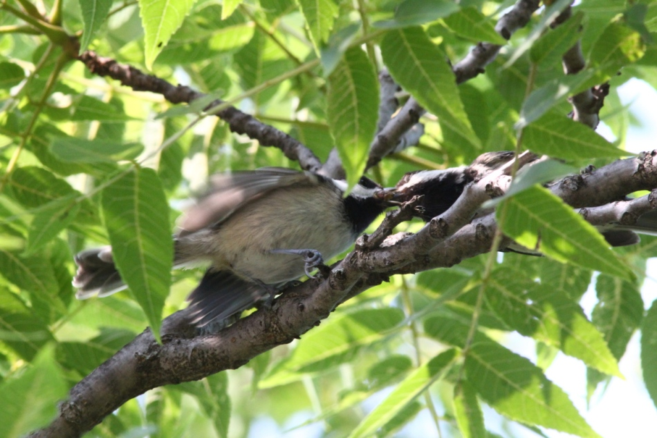 Black-capped chickadee parent feeding its young